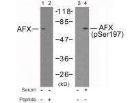 AP02424PU-S - FOXO4 / AFX1 / MLLT7