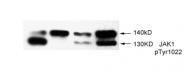 AP02433PU-S - Tyrosine-protein kinase JAK1