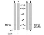 AP02446PU-S - HSPB1 / HSP27