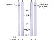 AP02448PU-S - DNA-PKcs / PRKDC / XRCC7