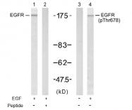 AP02461PU-S - EGFR / ERBB1