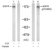 AP02462PU-S - EGFR / ERBB1