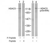 AP02465PU-S - HDAC5