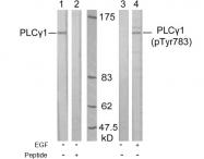 AP02658PU-S - PLCG1