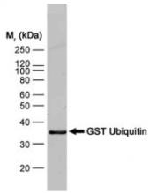 SM1690B - GST-Tag