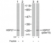 AP02671PU-S - HSPB1 / HSP27
