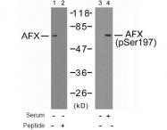 AP02683PU-S - FOXO4 / AFX1 / MLLT7
