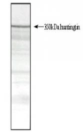 SM1661 - Huntingtin