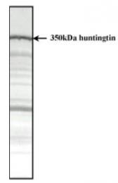 SM1662 - Huntingtin