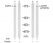 AP02705PU-S - EGFR / ERBB1