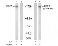 AP02706PU-S - EGFR / ERBB1