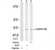 AP02707PU-S - Ephrin-B2