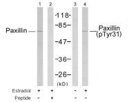 AP02711PU-S - Paxillin /  PXN