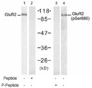 AP02778PU-S - Glutamate receptor 2 / GLUR2