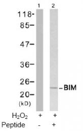 AP02775PU-S - Bcl-2-like 11