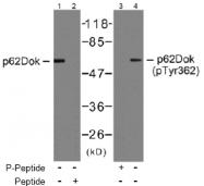 AP02767PU-S - DOK1 / p62 dok