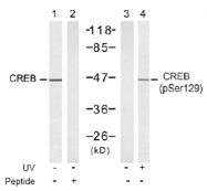 AP02766PU-S - CREB1
