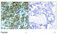 AP02765PU-S - Cortactin