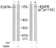 AP02757PU-S - EGFR / ERBB1