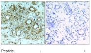 AP02754PU-S - RELA / NF-kB p65