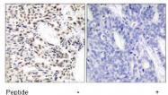 AP02720PU-S - RELA / NF-kB p65