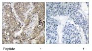 AP02722PU-S - Catenin beta-1