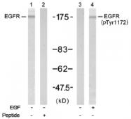 AP02723PU-S - EGFR / ERBB1