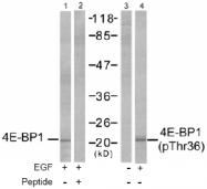 AP02724PU-S - EIF4EBP1 / 4E-BP1
