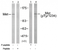 AP02729PU-S - HGF receptor