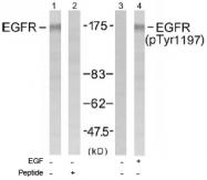 AP02730PU-S - EGFR / ERBB1
