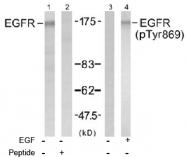 AP02731PU-S - EGFR / ERBB1