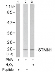 AP02736PU-S - Stathmin / STMN1