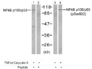 AP02746PU-S - NF-kB p105 / p50