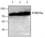 AP00319PU-N - FOXO3 / FKHRL1