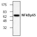 AM00165PU-N - RELA / NF-kB p65