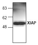AP00062PU-N - IAP3 / BIRC4