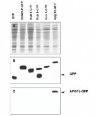 R1193 - ATG12 / APG12