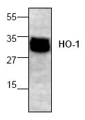 AP00140PU-N - Heme oxygenase 1 / HMOX1