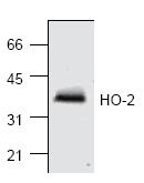 AP00141PU-N - Heme oxygenase 2 (HMOX2)