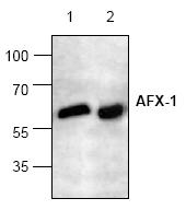 AP00150PU-N - FOXO4 / AFX1 / MLLT7