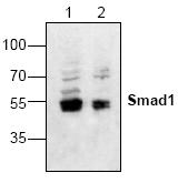 AP00195PU-N - SMAD1