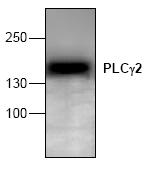 AP00258PU-N - PLCG2