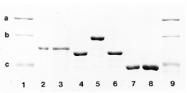 BA1005 - alpha skeletal muscle Actin / ACTA1