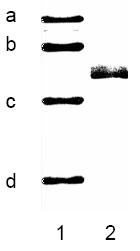 BA1007 - Cytokeratin 8