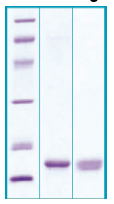 PA503X - Agouti-related protein / AGRP