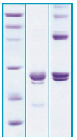PA504X - Cardiotrophin-1