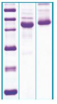 PA508X - Alpha-2-HS-glycoprotein / AHSG