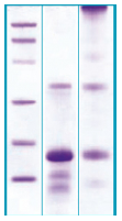 PA512X - Myostatin
