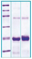 PA513X - Pleiotrophin / PTN
