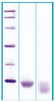PA515X - Guanylin